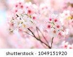 prunus   yedoensis  yoshino... | Shutterstock . vector #1049151920