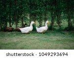 white duck family on the walk... | Shutterstock . vector #1049293694