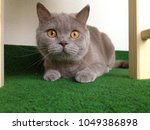 Stock photo british shorthair cat 1049386898