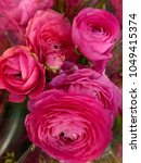 Small photo of Large showy dark pink roses
