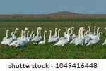 whooper swan  cygnus cygnus  on ... | Shutterstock . vector #1049416448