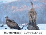 griffon vulture  gyps fulvus ... | Shutterstock . vector #1049416478