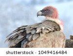 griffon vulture  gyps fulvus ... | Shutterstock . vector #1049416484