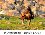 golden eagle on green grass | Shutterstock . vector #1049417714