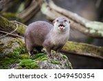oriental small clawed otter...   Shutterstock . vector #1049450354