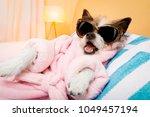 cool funny  poodle dog resting... | Shutterstock . vector #1049457194