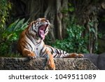 Tiger Is Yawning. It S A Nap...