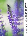 close up of a beautiful purple...   Shutterstock . vector #1049525078