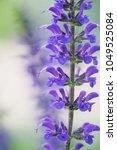close up of a beautiful purple...   Shutterstock . vector #1049525084