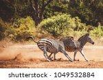 Running Zebras Kruger National - Fine Art prints