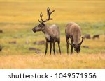 beautiful reindeer in the tundra   Shutterstock . vector #1049571956