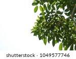 green leaves on white... | Shutterstock . vector #1049577746