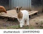 African Pygmy Goat