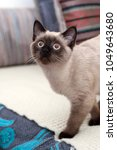 a playful young siamese cat... | Shutterstock . vector #1049643680