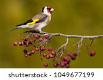 goldfinch  carduelis carduelis  ... | Shutterstock . vector #1049677199