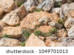 podarcis filfolensis lizard on... | Shutterstock . vector #1049701013