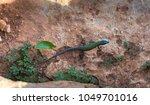 podarcis filfolensis lizard on... | Shutterstock . vector #1049701016