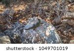 podarcis filfolensis lizard on... | Shutterstock . vector #1049701019