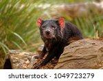 He Tasmanian Devil  Sarcophilu...