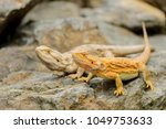 two central bearded dragon on... | Shutterstock . vector #1049753633
