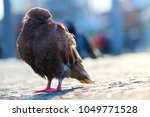 Brown Pigeon  Columba Livia...