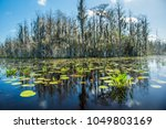 Green lilly pads in the Okefenokee swamp National Wildlife Refuge near Folkston, Georgia