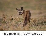 bat eared fox portrait | Shutterstock . vector #1049835326