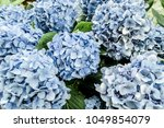 Beautiful Blue Hydrangea Buds