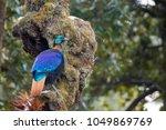himalayan monal in kedarnath... | Shutterstock . vector #1049869769