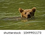 baby grizzly bear taking a swim ...   Shutterstock . vector #1049901173