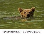 Baby Grizzly Bear Taking A Swim ...