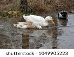 ducks in the shallows of a pond | Shutterstock . vector #1049905223