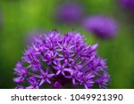 blooming violet onion plant in...