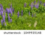 lupines blooming in northern... | Shutterstock . vector #1049935148
