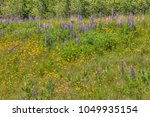 lupines blooming in northern... | Shutterstock . vector #1049935154