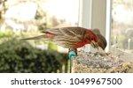 a male house finch looks adowne ...   Shutterstock . vector #1049967500