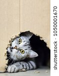 Stock photo cute small grey striped cat playing with a cardboard box 1050001670