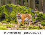 the siberian tiger  panthera... | Shutterstock . vector #1050036716