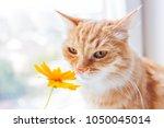 cute ginger cat smelling a... | Shutterstock . vector #1050045014