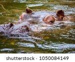 the common hippopotamus ... | Shutterstock . vector #1050084149