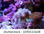 sea anemones  in the aquarium... | Shutterstock . vector #1050111638