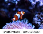 clown fish enjoy in magnifica... | Shutterstock . vector #1050128030