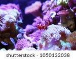 clown fish swimming in the sea...   Shutterstock . vector #1050132038