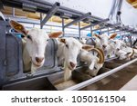 Goat Farm Milking Machine