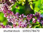 lilac flower background | Shutterstock . vector #1050178670