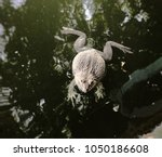 Small photo of Frogs, Toads,Anura , amphibian animal Swim faster, spawn in water.