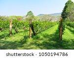 beautiful green view of vinery... | Shutterstock . vector #1050194786