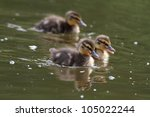 Little Ducklings Swims On The...