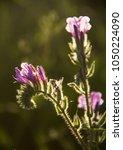 closeup of wild flowers in... | Shutterstock . vector #1050224090