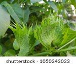 close up green cotton flower... | Shutterstock . vector #1050243023